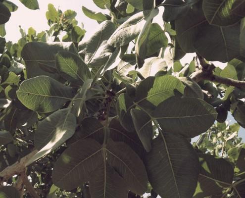 φυστικιά Μέγαρα