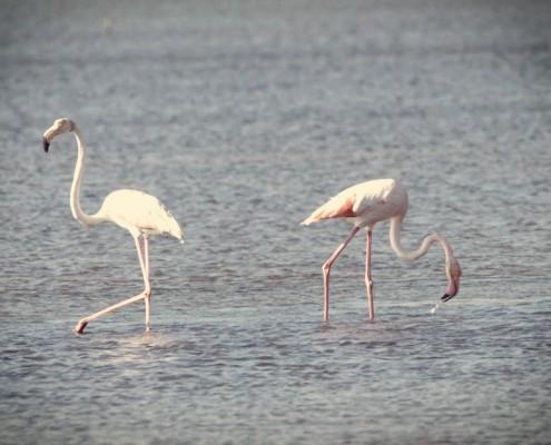 Φλαμίνγκος,Βουρκάρι,Μέγαρα
